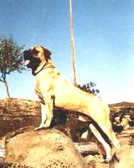 Mastiff Picture (Ch.West Coast Skipper .TT)